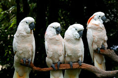 美冠鹦鹉白色 免版税库存图片