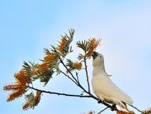 美冠鹦鹉白色 库存照片