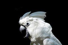 美冠鹦鹉白色 库存图片