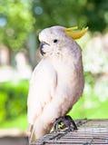 美冠鹦鹉白色 免版税图库摄影