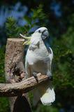 美冠鹦鹉纳稀威动物园 免版税库存照片
