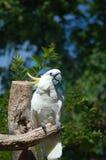 美冠鹦鹉纳稀威动物园3 库存照片