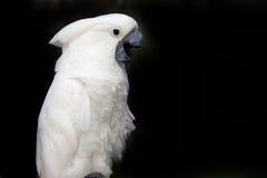 美冠鹦鹉联系 库存照片