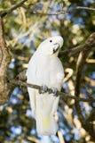 美冠鹦鹉顶饰一点sulpher 库存照片