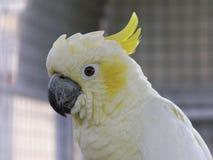 美冠鹦鹉顶饰少许硫磺 库存照片