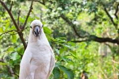 美冠鹦鹉黄色 免版税库存图片
