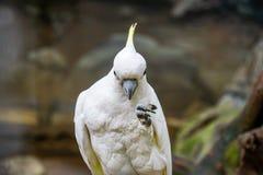 美冠鹦鹉-动物的画象在动物园里 免版税库存照片