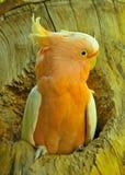 美冠鹦鹉 图库摄影