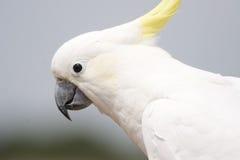 美冠鹦鹉 库存照片