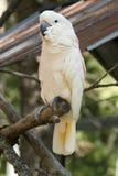 美冠鹦鹉 免版税库存图片