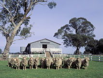 美利奴绵羊的公羊 免版税库存图片