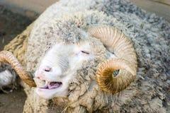 美利奴绵羊 免版税库存图片