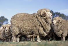 美利奴绵羊 免版税图库摄影