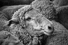 美利奴绵羊 免版税库存照片