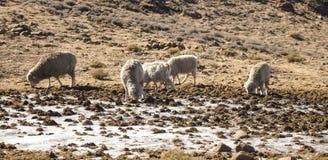 美利奴绵羊和安哥拉猫山羊成群饲料德肯斯伯格,莱索托 免版税库存图片