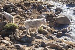 美利奴绵羊和安哥拉猫山羊成群饲料莱索托 免版税库存图片