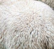 美利奴绵羊的羊毛 免版税图库摄影