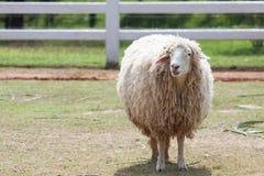 美利奴绵羊的面孔在大农场农厂使用的牲口的和居住 库存照片