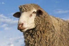 美利奴绵羊 库存图片