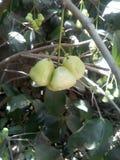 美味和美丽的树和果子 免版税图库摄影