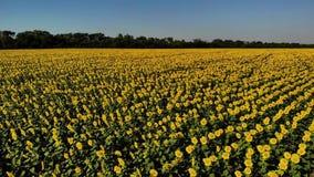 美味和黄色向日葵鸟瞰图在向日葵领域,电影英尺长度的 股票视频