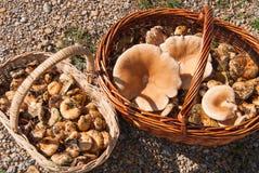 美味的乳菇属 免版税库存照片