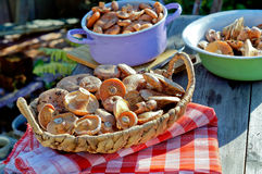 美味的乳菇属 库存照片