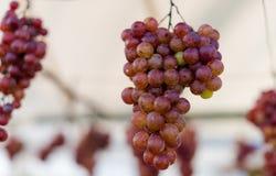 美味的垂悬的葡萄果子 库存图片
