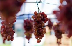 美味的垂悬的葡萄果子 库存照片