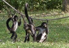 美国中央猴子蜘蛛 免版税库存照片