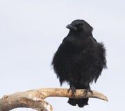 美国乌鸦 库存照片