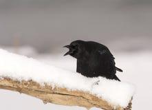 美国乌鸦 免版税库存图片