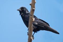 美国乌鸦 免版税图库摄影