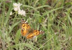 美国人国家领域的被绘的夫人Butterfly 图库摄影