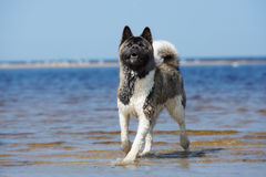 美国人在海滩的秋田狗在夏天 库存照片