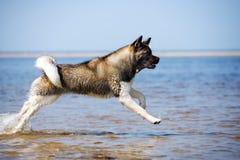 美国人在海滩的秋田狗 库存照片
