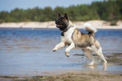 美国人在海滩的秋田狗 免版税库存图片