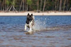 美国人在海滩的秋田狗 免版税图库摄影