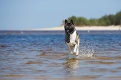 美国人在海滩的秋田狗 库存图片