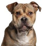 美国人接近的斯塔福郡狗 免版税库存照片