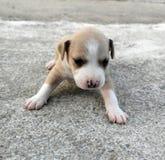 美国人斯塔福德郡逗人喜爱的狗小狗 库存图片