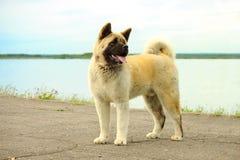 美国人秋田伟大的日本狗 免版税库存图片