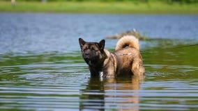 美国人秋田狗在水中 股票视频
