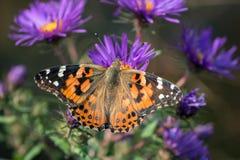 美国人被绘的夫人蝴蝶Vanessa virginiensis 免版税库存照片
