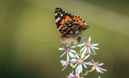 美国人被绘的夫人蝴蝶Vanessa virginiensis 库存照片