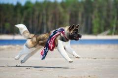 美国人跑在海滩的秋田狗 库存照片