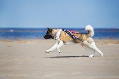 美国人跑在海滩的秋田狗 库存图片