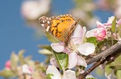 美国人绘了授粉苹果开花的夫人蝴蝶 免版税库存照片