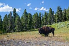 美国人Bizon在黄石国家公园 免版税图库摄影