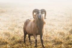 美国人Blackbelly绵羊 免版税图库摄影